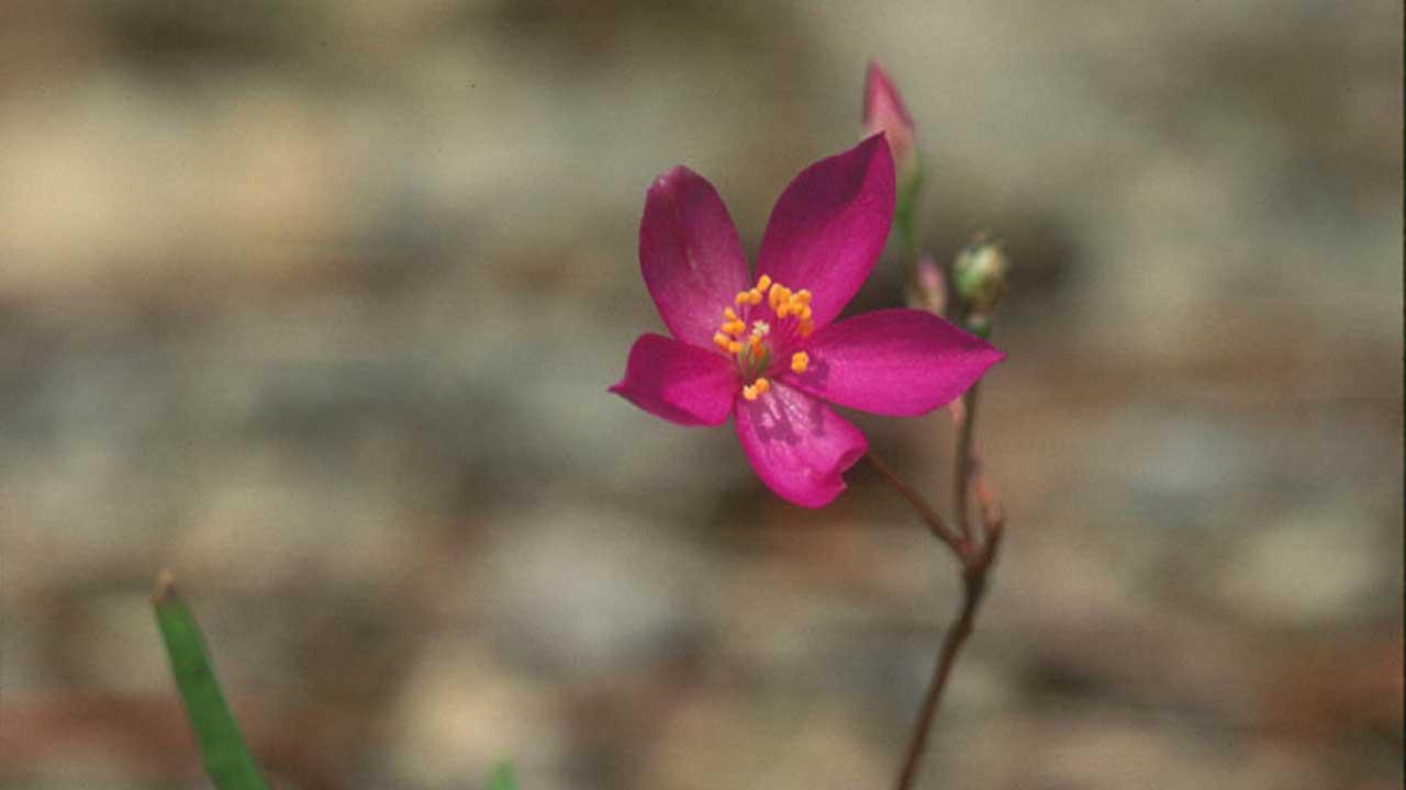 Talinum calicaricum