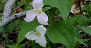 Trillium grandiflora